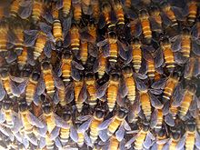Photo of bees in a hive